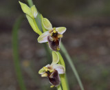 Ophrys levanthina