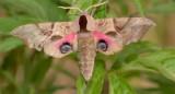 Pauwoogpijlstaart, Smerinthus ocellata