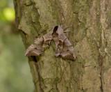 Pauwoogpijlstaart