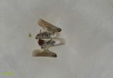 Pentastiridius leporinus, verzameld voor de wetenschap