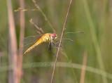 Zwervende heidelibel, vrouw vers