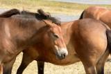 Teruggefokt wild paard