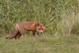 Rode vos in zomervacht