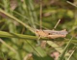 Bruine sprinkhaan vrouwtje