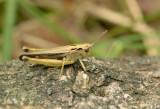 Wekkertje, Omocestus viridulus, meestal groen soms bruin