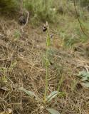 Ophrys reinholdii, habitat