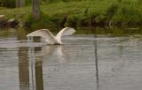 Lepelaar op jacht naar vis in een ondiep polderslootje
