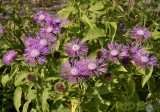 Centaureae phrygia