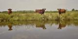 Brandrode koeien