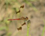 Dragonflies  (Libellen) Piet Brouwer