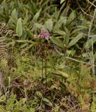 Phalaenopsis pulcherrima var. buyssoniana