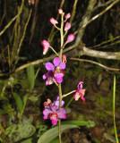 PH. pulcherrima var. buyssoniana
