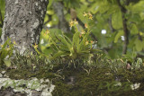 Phalaenopsis cornu-servi