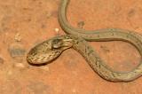 Springende adder - jumping viper