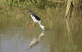 Steltkluut, black-winged stilt female