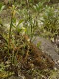 Dendrobium pachyglossa, lithophytic 1500 mtr