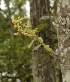 Dendrobium venustum, 1200 mtr