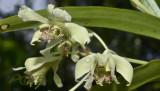 Dendrobium venustum semi-alba