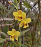 Spathoglottis pubescens