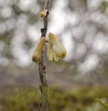 Dendrobium pachyglossa, close