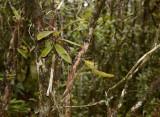 Seedpod Thrixpermum arachnitis