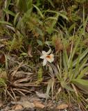 Dendrobium christyanum, lithophyte