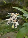 Goelogyne phuhinronglaensis, endemic to Thailand, lithophyte