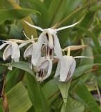 Goelogyne phuhinronglaensis, endemic to Thailand