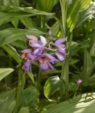 Calanthe ceciliae