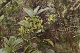 Tree habitat, Coelogyne spec.