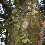 Tree habitat, porpax sp. 1200 mtr.