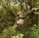 Parasiet op tropische eik, de knollen kunnen 20 kg wegen