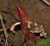 Wild ginger red