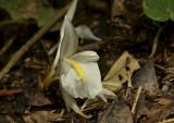 Wild ginger white