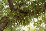 Hertshoornvarens, Staghorn