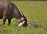 Buffelreiger