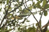 Cicada, sound of a chainsaw (cicada 6 cm)