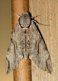 Moth 6 cm