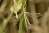 Microgomphus thailandica, fresh