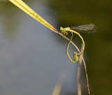 Ceriagrion spec.