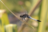 Orthetrum spec.