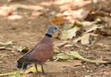 Birmatortel, staart beschadigd door nestbouw