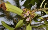 Gastrochilus bellinus, close