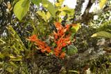 Dendrobium unicum, in habitat