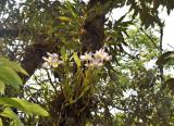 Dendrobium findlayanum, missing maroon spot