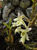 Dendrobium signatum pale