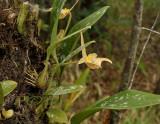 Bulbophyllum lobbii variety