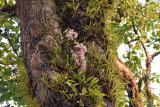 Dipterocarpus wallichii with D.signatum (dark phase) and coelogyne trinervis
