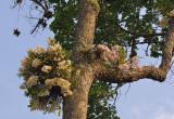 Dipterocarpus wallichii with 2 colors of signatum
