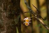 Dendrobium crystallinum backlight